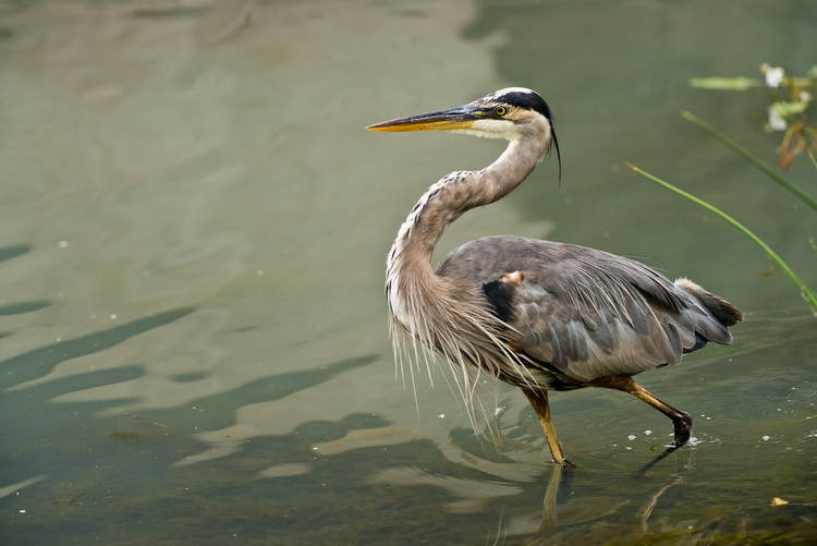 Blue Heron Picture-965