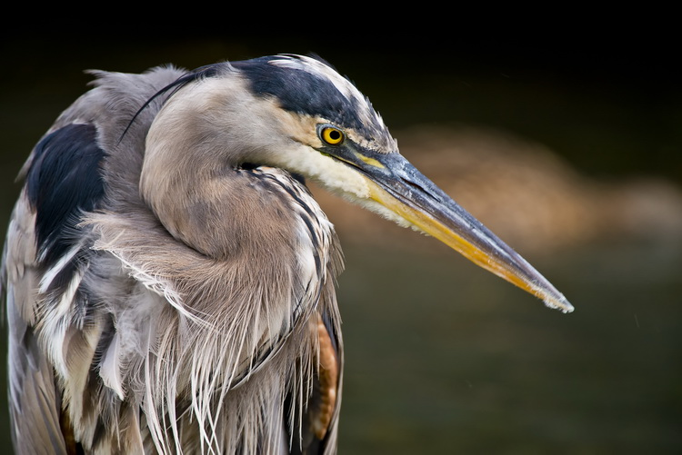 Blue Heron Picture-968