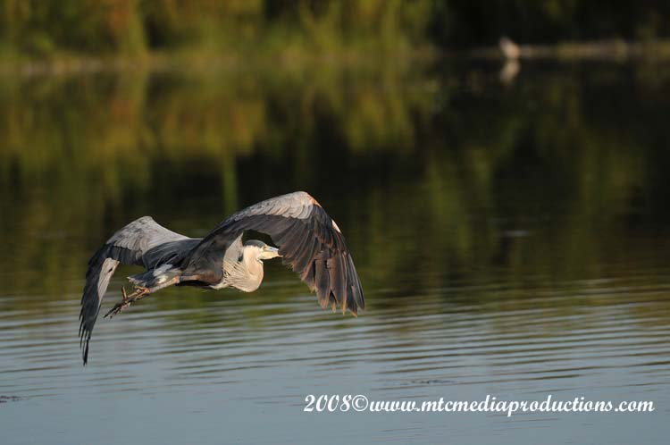 Blue Heron Picture-97