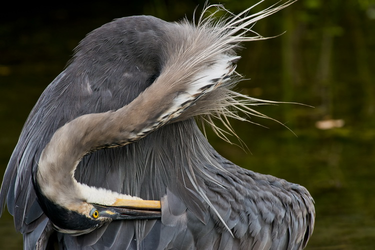 Blue Heron Picture-971