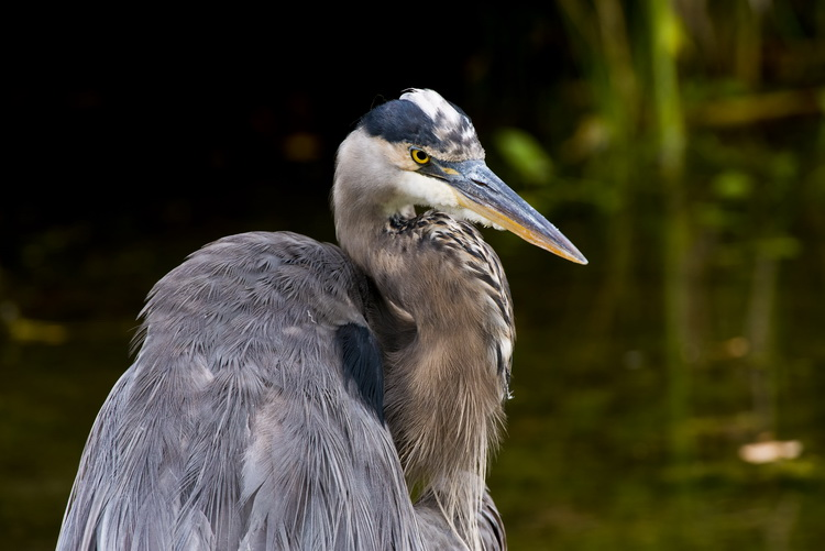 Blue Heron Picture-972