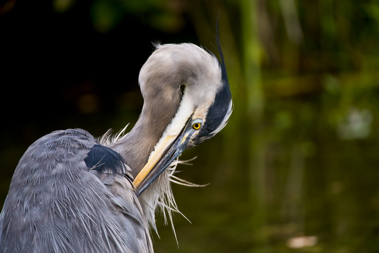 Blue Heron Picture-973