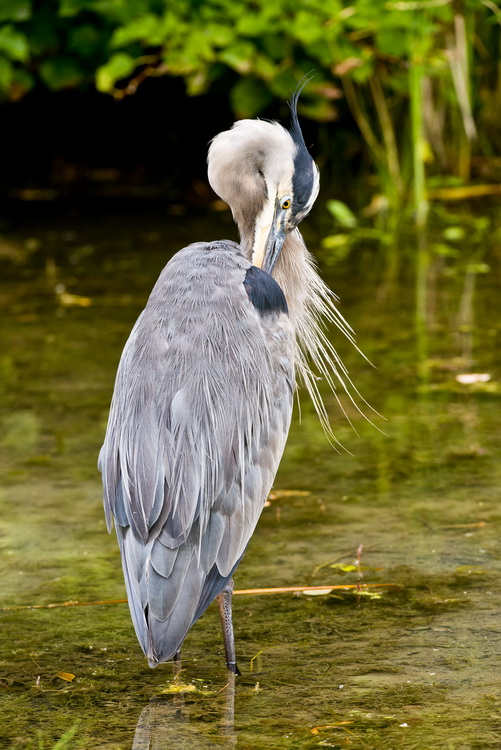 Blue Heron Picture-974