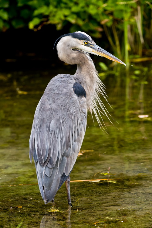 Blue Heron Picture-975