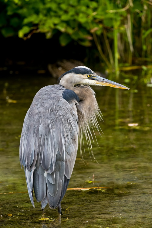 Blue Heron Picture-976