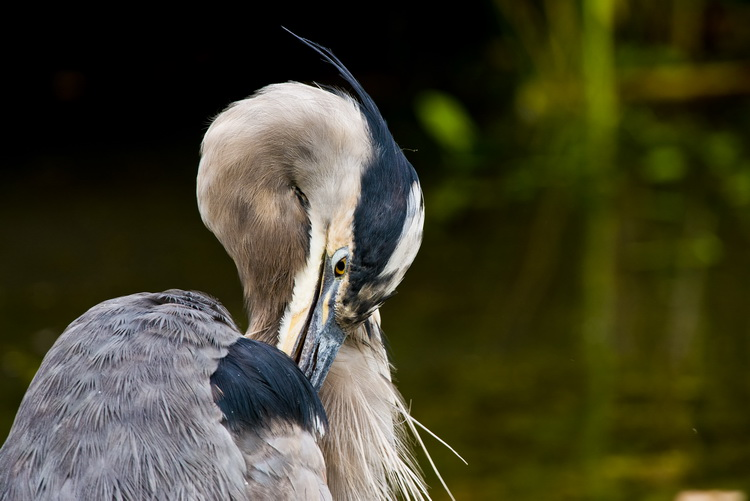 Blue Heron Picture-978