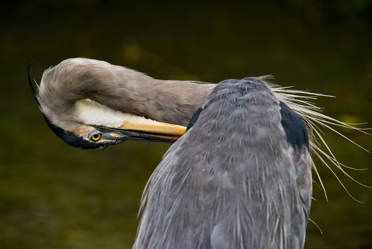 Blue Heron Picture-979