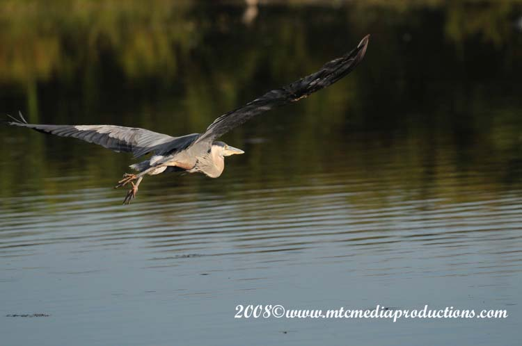 Blue Heron Picture-98