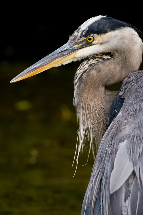 Blue Heron Picture-981