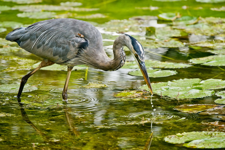 Blue Heron Picture-982