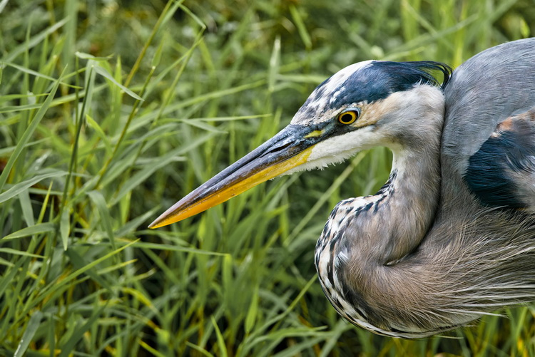 Blue Heron Picture-984