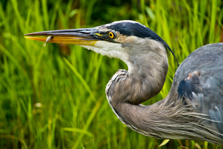 Blue Heron Picture-985