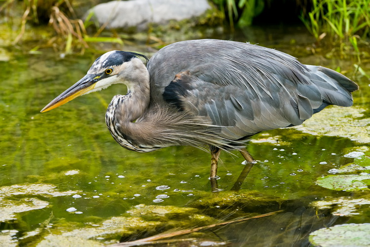 Blue Heron Picture-986
