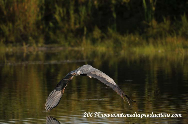 Blue Heron Picture-99