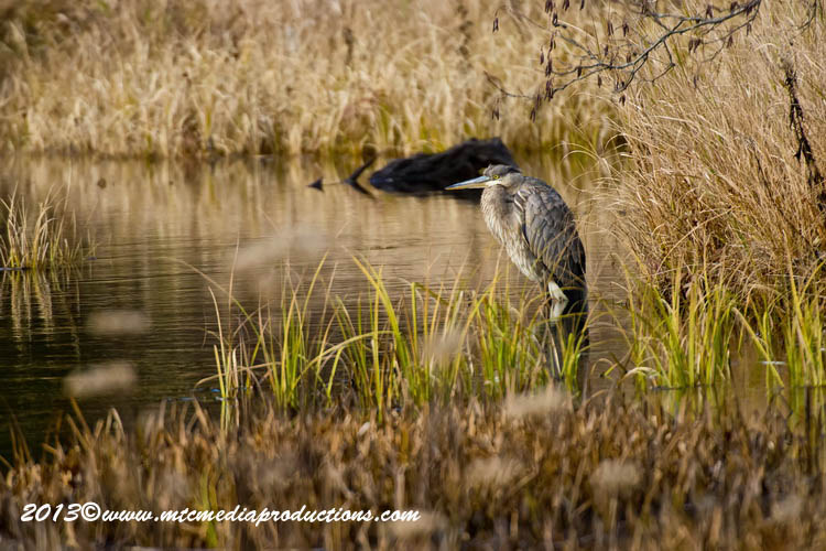 Blue Heron Picture-991