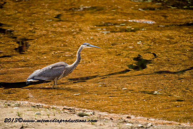 Blue Heron Picture-992