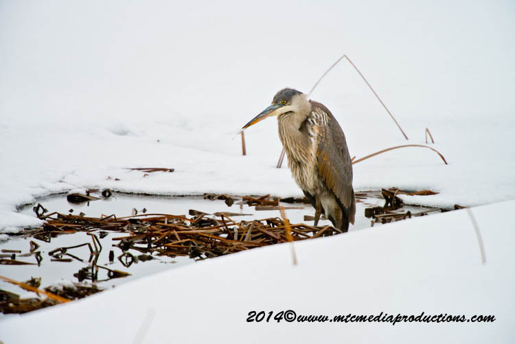 Blue Heron Picture-995