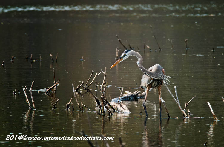 Blue Heron Picture-996