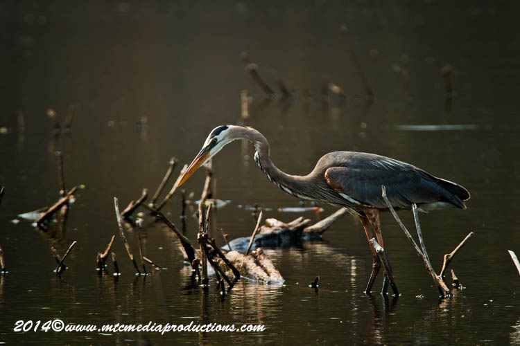 Blue Heron Picture-997