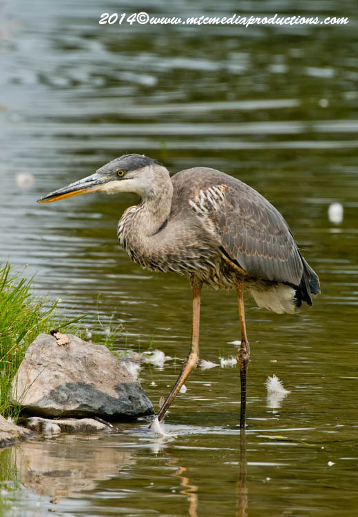 Blue Heron Picture-998