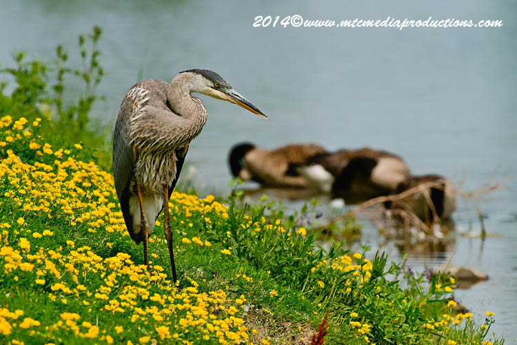 Blue Heron Picture-999