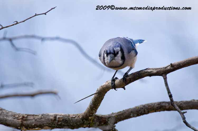 Blue Jay Picture-100