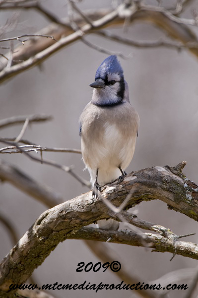 Blue Jay Picture-103