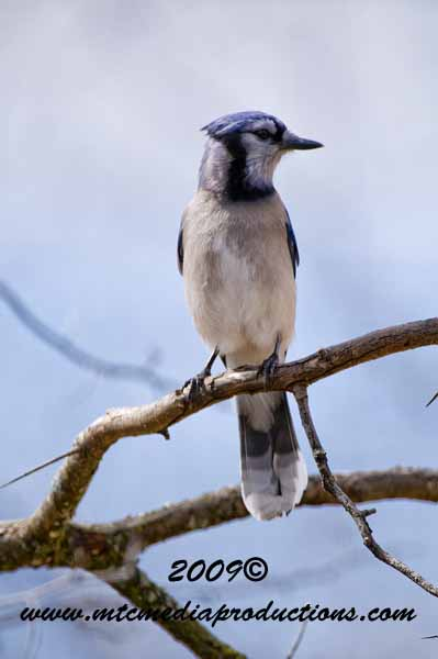 Blue Jay Picture-104