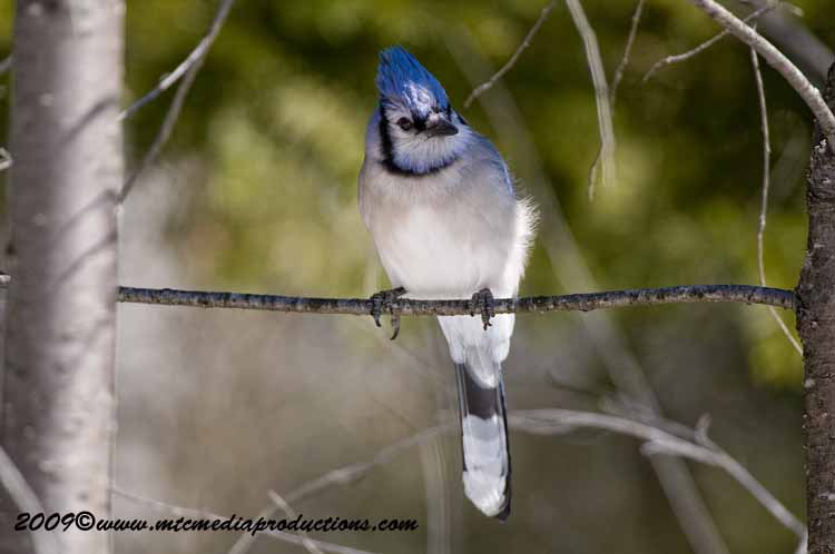 Blue Jay Picture-105