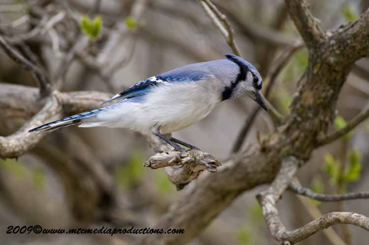 Blue Jay Picture-106
