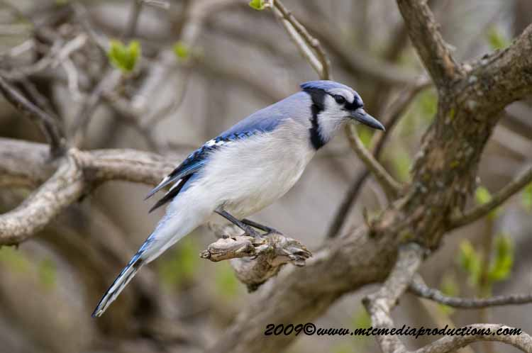 Blue Jay Picture-107