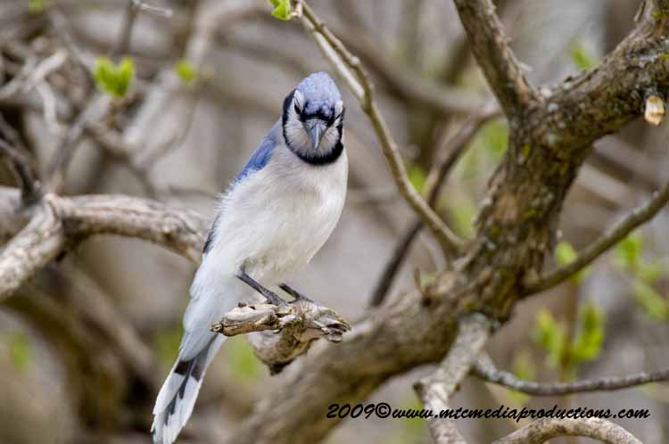 Blue Jay Picture-108