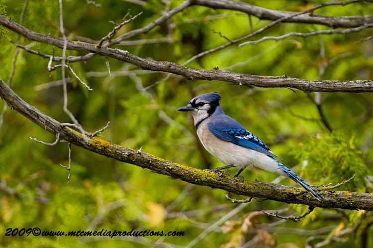 Blue Jay Picture-109