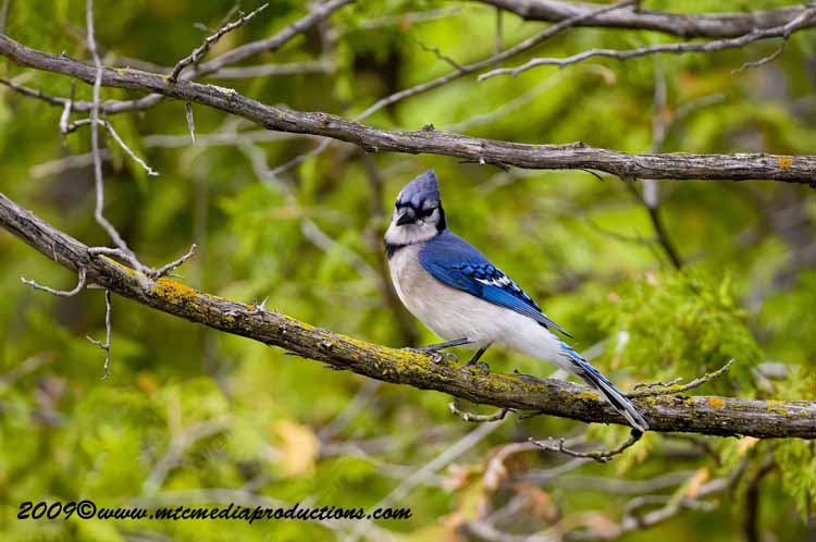 Blue Jay Picture-110