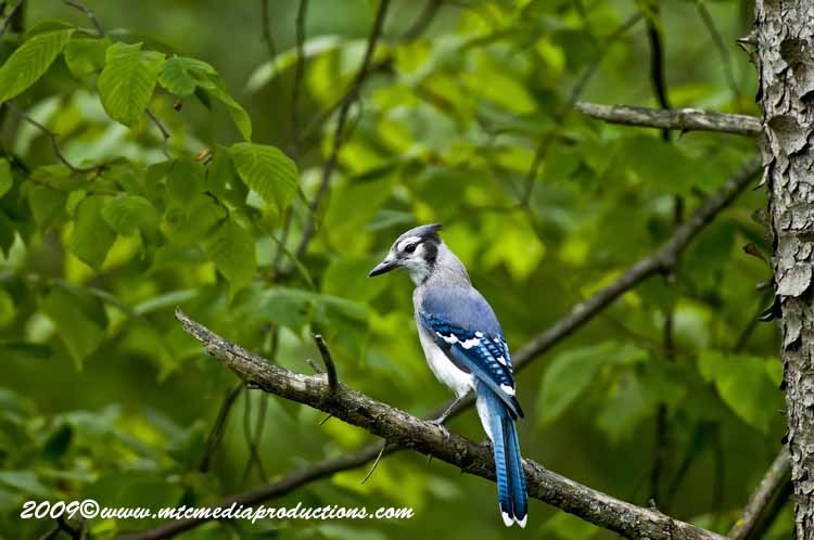 Blue Jay Picture-111