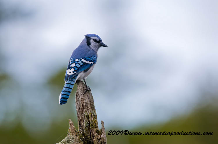 Blue Jay Picture-113