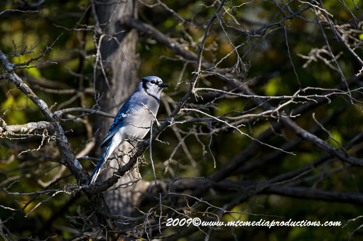 Blue Jay Picture-116