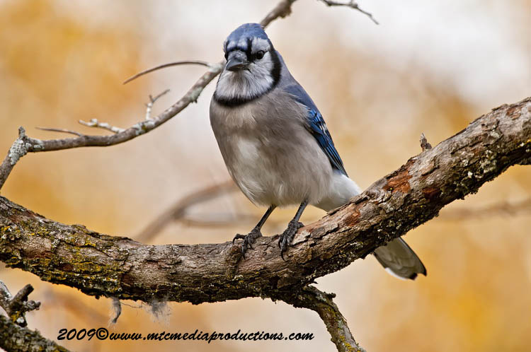 Blue Jay Picture-117