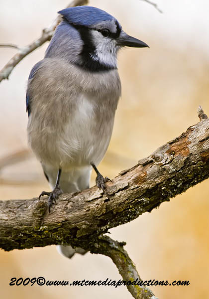Blue Jay Picture-118