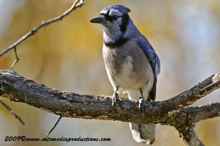 Blue Jay Picture-119