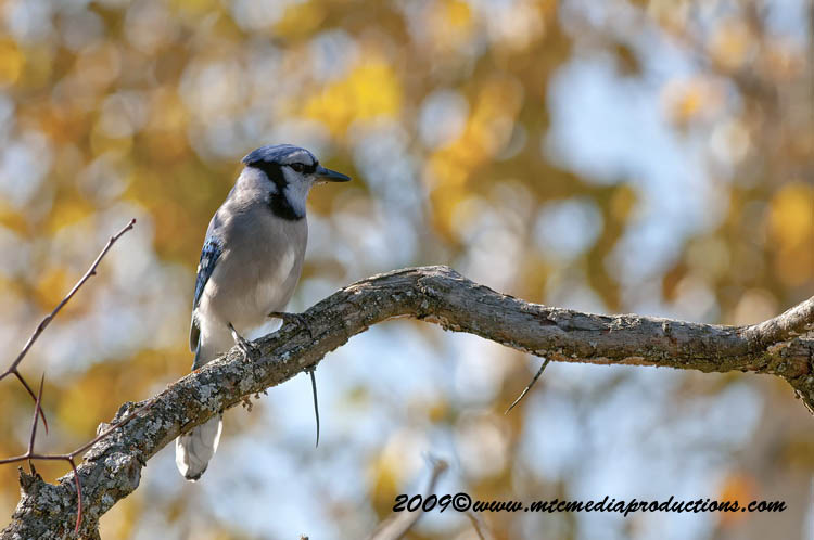 Blue Jay Picture-121
