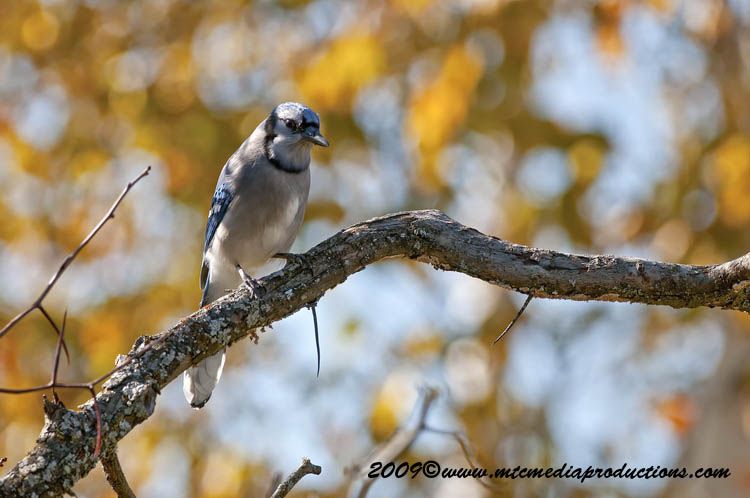 Blue Jay Picture-122