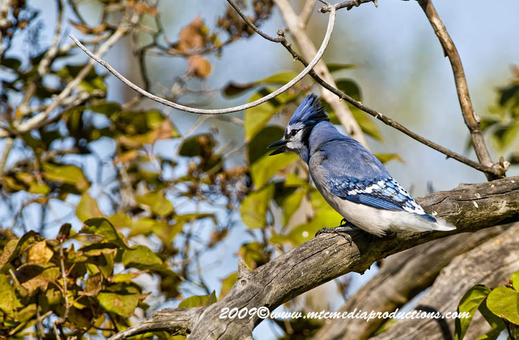 Blue Jay Picture-123