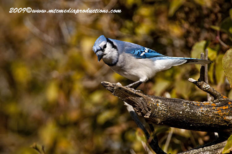 Blue Jay Picture-124