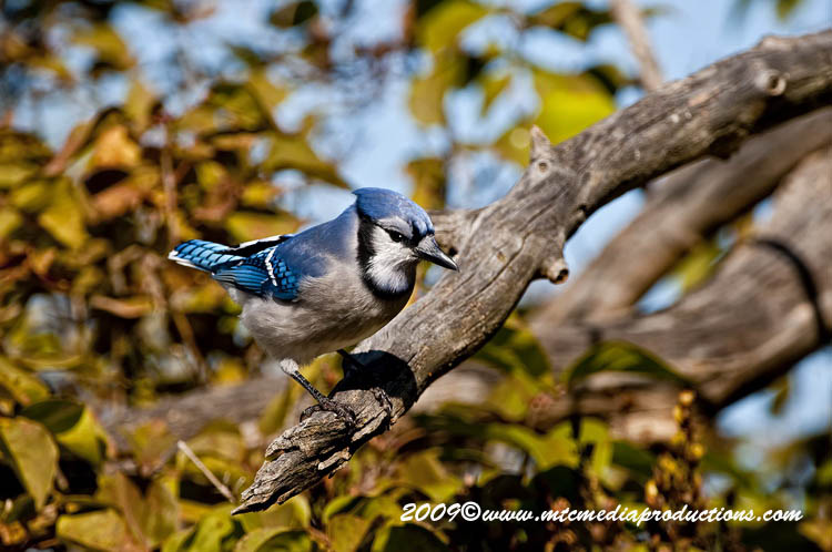 Blue Jay Picture-125