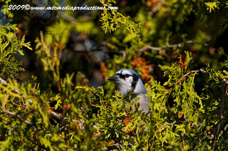 Blue Jay Picture-128