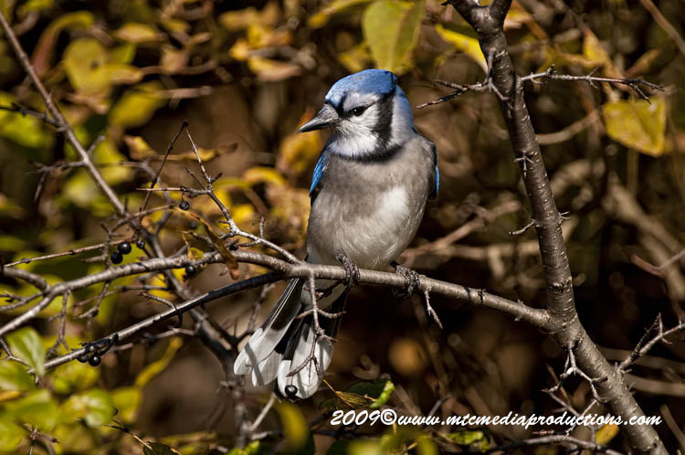 Blue Jay Picture-129