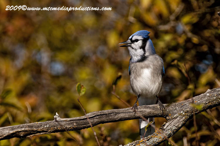Blue Jay Picture-130