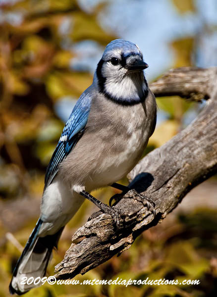 Blue Jay Picture-131