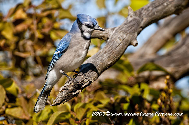 Blue Jay Picture-132